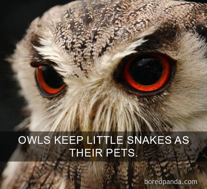 Curiosità dal mondo: i gufi amano trasformare piccoli serpenti nei loro animali da compagnia