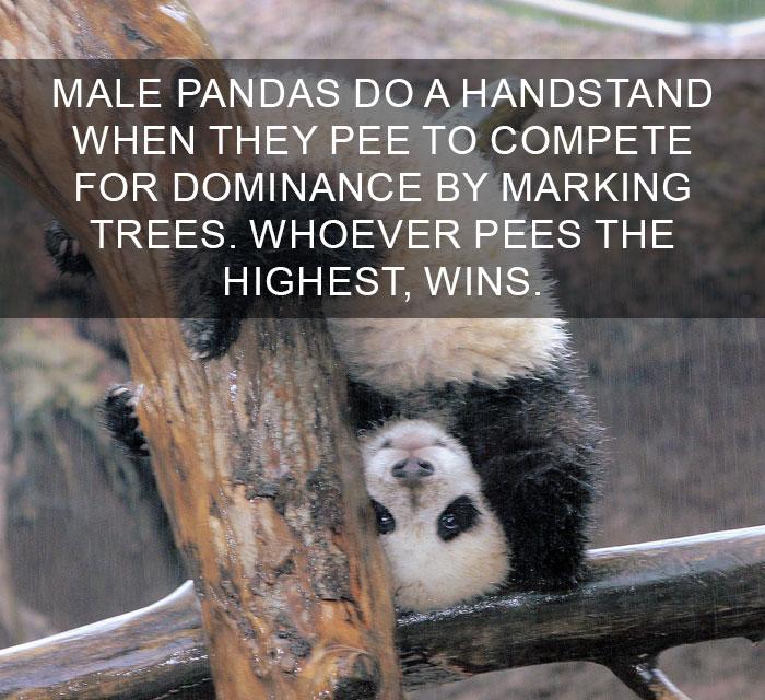 Curiosità dal mondo: il maschio di panda fa la verticale mentre urina sugli alberi come sfida di dominio. Chi piscia più in alto vince!