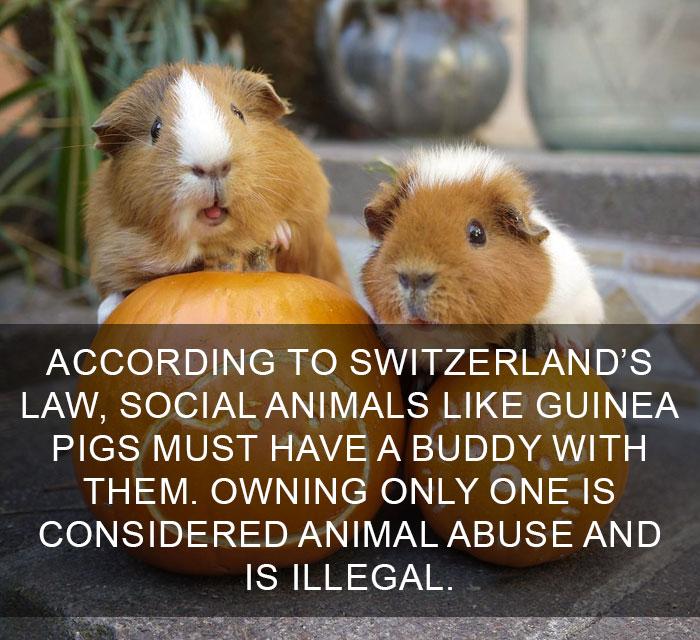 Curiosità dal mondo: In Svizzera animali sociali come i porcellini d'India non possono vivere senza un compagno. Il contrario è considerato abuso sugli animali ed è illegale