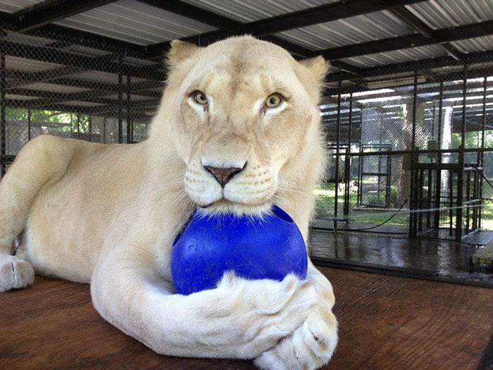 rescue-lions-love-kahn-sheila-in-sync-exotics-8